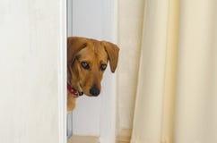 El perro se está colocando en el umbral en la entrada y mira en el cuarto imagen de archivo
