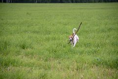 El perro se está divirtiendo en un campo del verano por completo de la hierba verde imagen de archivo