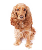 El perro se está sentando en el estudio Fotos de archivo libres de regalías