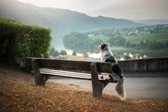 El perro se sienta en un banco y miradas en el amanecer Pastor australiano de mármol en naturaleza caminata fotos de archivo libres de regalías