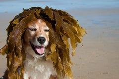 El perro se viste sube con la mala hierba del mar como peluca foto de archivo libre de regalías