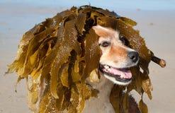 El perro se viste sube con la mala hierba del mar como peluca imágenes de archivo libres de regalías