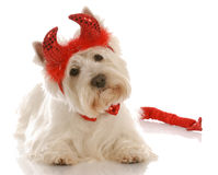 El perro se vistió para arriba como diablo Foto de archivo libre de regalías