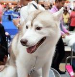 El perro siberiano blanco se sienta en la tabla Imagen de archivo libre de regalías