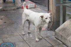 El perro sin hogar blanco Foto de archivo