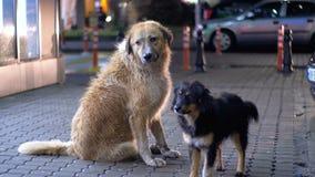 El perro sin hogar dos se sienta en una acera en la noche en el fondo de pasar los coches y a gente almacen de metraje de vídeo