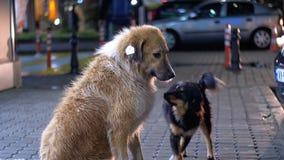 El perro sin hogar dos se sienta en una acera en la noche en el fondo de pasar los coches y a gente metrajes
