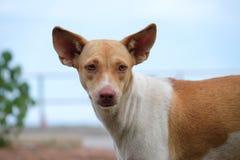 El perro sin hogar está mirando la cámara Imágenes de archivo libres de regalías