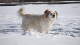 El perro sin hogar que raspa y que menea su cola se está colocando en el invierno de la nieve es frío el problema de animales dom almacen de video