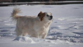 El perro sin hogar que raspa y que menea su cola se está colocando en el invierno de la nieve es frío el problema de los animales almacen de video