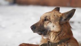 El perro sin hogar se sienta en la nieve en el invierno que bizquea ojos de un fuerte viento perro del problema de animales domés almacen de metraje de vídeo