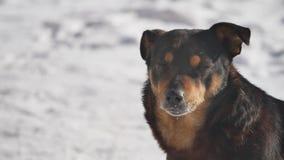 El perro sin hogar se sienta en la nieve en el invierno que bizquea ojos de un fuerte viento problema de los animales domésticos  metrajes