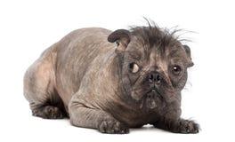 El perro sin pelo de la Mezclado-raza, mezcla entre un dogo francés y un perro con cresta chino, mintiendo y parece culpable Imagenes de archivo