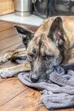 El perro soñoliento mira mientras que descansa sobre piso y el paño gris fotos de archivo