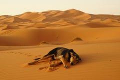El perro solitario en el desierto del ERGIO en Marruecos Fotos de archivo