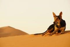 El perro solitario en el desierto del ERGIO en Marruecos Imagen de archivo