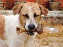 El perro a sostenerse en la boca, deshuesa al aire libre Imagen de archivo libre de regalías