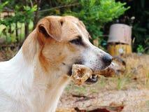 El perro a sostenerse en la boca, deshuesa al aire libre Fotografía de archivo libre de regalías