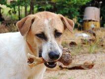 El perro a sostenerse en la boca, deshuesa al aire libre Imagen de archivo