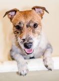 El perro sucio divertido necesita el baño después de paseo Fotografía de archivo libre de regalías