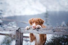 El perro tocante del perro perdiguero del pato de Nova Scotia en montañas del invierno imagen de archivo libre de regalías