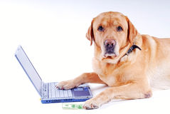 El perro trabaja en una computadora portátil Imagen de archivo