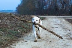 El perro trae el palillo de madera grande Foto de archivo libre de regalías