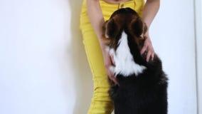 El perro tricolor lindo del Corgi Galés que mira con amor el dueño de la mujer y se convierte en las patas delanteras en las rodi almacen de metraje de vídeo