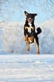 El perro tricolor suizo del sennenhund de Appenzeller salta en la nieve Imagen de archivo