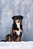 El perro tricolor suizo del sennenhund de Appenzeller se sienta en la nieve Imágenes de archivo libres de regalías