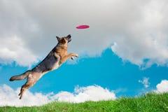 El perro va a jugar el disco en el cielo Foto de archivo
