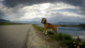 el perro video del beagle 4K huele efecto que viaja de la cámara del viento metrajes