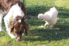 El perro y la gallina es foto de archivo libre de regalías