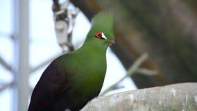 El persa de Tauraco del turaco de Guinea, también conocido como el turaco verde o el lourie verde se cierra para arriba en la luz almacen de video