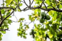 El Persea del aguacate americana es un árbol que es nativo a México central del sur, clasificado como miembro del fam de la plant imagenes de archivo