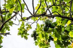 El Persea del aguacate americana es un árbol que es nativo a México central del sur, clasificado como miembro del fam de la plant fotos de archivo libres de regalías