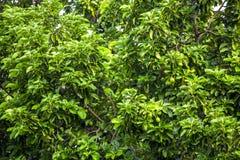 El Persea del aguacate americana es un árbol que es nativo a México central del sur, clasificado como miembro del fam de la plant foto de archivo