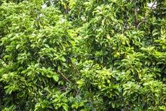 El Persea del aguacate americana es un árbol que es nativo a México central del sur, clasificado como miembro del fam de la plant imagen de archivo
