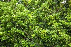 El Persea del aguacate americana es un árbol que es nativo a México central del sur, clasificado como miembro del fam de la plant fotografía de archivo libre de regalías
