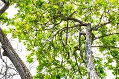 El Persea del aguacate americana es un árbol que es nativo a México central del sur, clasificado como miembro del fam de la plant fotos de archivo