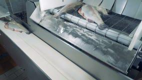 El pescado cartilaginoso está cayendo de la máquina industrial sobre la correa metrajes