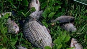 El pescado cogido miente en hierba verde Pescados vivos en hierba Pesca metrajes