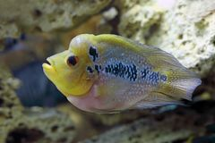 El pescado colorido del cuerno de la flor nada en agua Imagenes de archivo