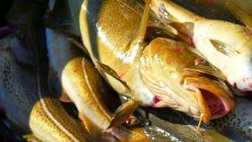 El pescado de bacalao recién pescado en cajón plástico negro con otro coge Pescados cogidos que abren por último su boca y jadead metrajes