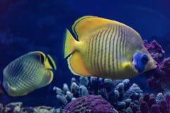 El pescado de la mariposa es un pescado de mar brillante que vive principalmente en los arrecifes de coral imágenes de archivo libres de regalías