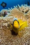 El pescado de Nemo en una anémona intenta besarse Imágenes de archivo libres de regalías