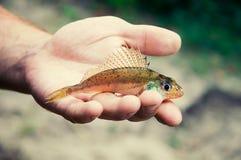 El pescado del acerino miente en la palma Foto de archivo libre de regalías
