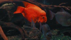El pescado exótico hermoso Cichlasoma Meeki nada en acuario metrajes