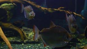 El pescado exótico nada en un acuario de la alga marina almacen de metraje de vídeo