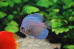 El pescado flota en el acuario Imágenes de archivo libres de regalías